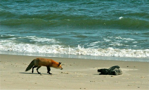 fox and seal